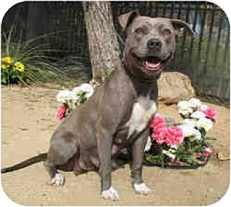 Pit Bull Terrier Mix Dog for adoption in Encino, California - Prissy