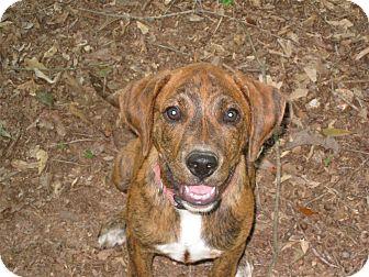 Plott Hound Mix Puppy for adoption in Winder, Georgia - *Layla