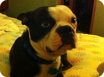 Boston Terrier Dog for adoption in Conway, Arkansas - Patch