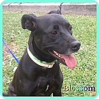 Adopt A Pet :: blossom - hollywood, FL