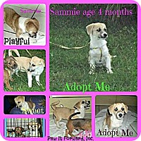 Adopt A Pet :: Samantha - Coral Springs, FL