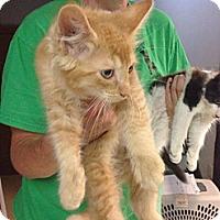 Adopt A Pet :: Lion - Lancaster, MA