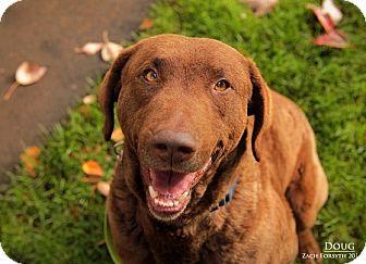 Chesapeake Bay Retriever Mix Dog for adoption in Portland, Oregon - DOUG