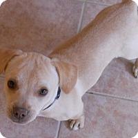 Adopt A Pet :: Babe - dewey, AZ