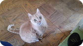 Domestic Shorthair Cat for adoption in Harrisonburg, Virginia - Tink, Jazz, and Lilly
