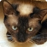 Siamese Cat for adoption in Pasadena, California - Sable