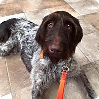 German Wirehaired Pointer Dog for adoption in Denton, Texas - Teddy Boy