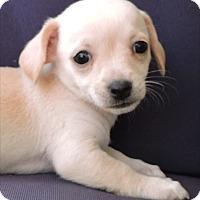 Adopt A Pet :: Frannie - La Habra Heights, CA