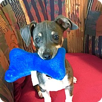 Adopt A Pet :: Cassie - Dallas, TX