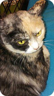 Domestic Shorthair Cat for adoption in San Ramon, California - Macie