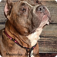 American Staffordshire Terrier Mix Dog for adoption in St John, Indiana - Hazel