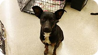 Australian Kelpie Mix Dog for adoption in San Antonio, Texas - Sola