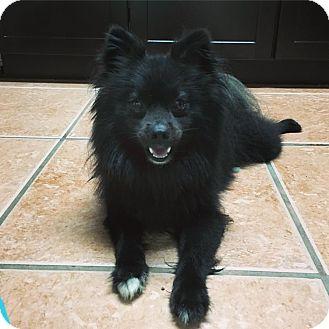Pomeranian Mix Dog for adoption in Davie, Florida - Loki