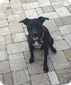 Labrador Retriever/American Staffordshire Terrier Mix Dog for adoption in Bend, Oregon - Sealy