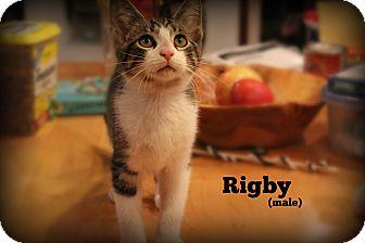 Domestic Shorthair Kitten for adoption in Glen Mills, Pennsylvania - Rigby