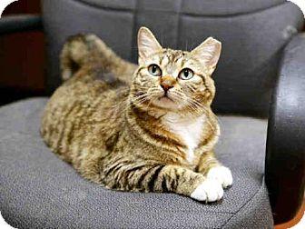 Domestic Mediumhair Cat for adoption in Wainscott, New York - CORA