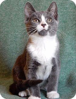 Domestic Shorthair Kitten for adoption in Long Beach, New York - Kenickie