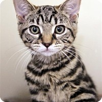 Adopt A Pet :: Ziggy Girl - Fairfax Station, VA