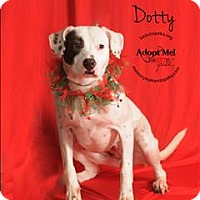 Adopt A Pet :: Dotty - Topeka, KS