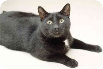 Domestic Shorthair Cat for adoption in Markham, Ontario - Franklin