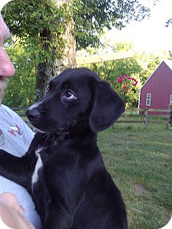 Labrador Retriever/Plott Hound Mix Puppy for adoption in Lynnville, Tennessee - Sebastian