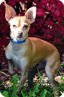 Chihuahua Dog for adoption in Bridgeton, Missouri - Rocky