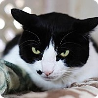 Domestic Shorthair Cat for adoption in Redondo Beach, California - Scamper