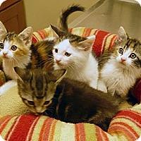 Adopt A Pet :: Binky & the bobtails - Chicago, IL