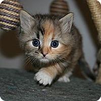 Adopt A Pet :: Ester's Kittens - Arlington, VA