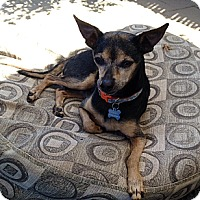 Adopt A Pet :: Chico - Fountain Valley, CA