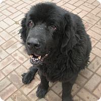 Adopt A Pet :: Bear Sr. Adoption Pending - Lee's Summit, MO