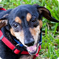 Adopt A Pet :: Addison - Weston, FL