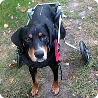 Black and Tan Coonhound Mix Dog for adoption in Mount Laurel, New Jersey - Blu