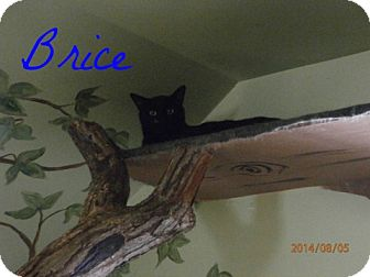 Domestic Shorthair Cat for adoption in Colbert, Georgia - Bryce