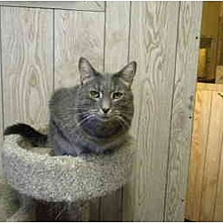 Photo 2 - Domestic Shorthair Cat for adoption in Bartlett, Illinois - Andy