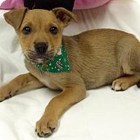 Adopt A Pet :: Blossom - Fort Pierce, FL