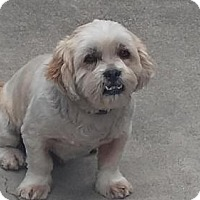 Lhasa Apso Dog for adoption in Stockton, California - Charlie