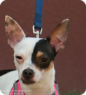 Rat Terrier/Fox Terrier (Smooth) Mix Dog for adoption in boston, Massachusetts - Pebbles