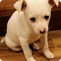 Adopt A Pet :: Snowflake - Hanover, PA
