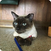 Burmese Cat for adoption in Avon Park, Florida - Teddy