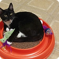 Domestic Shorthair Kitten for adoption in Huntsville, Alabama - Buttercup