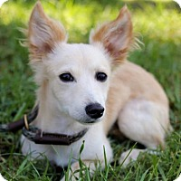 Corgi/Pomeranian Mix Puppy for adoption in San Diego, California - Brianna