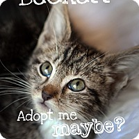 Domestic Shorthair Kitten for adoption in Jacksonville, Florida - Beckett