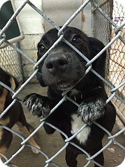 Labrador Retriever Mix Puppy for adoption in Danbury, Connecticut - Madi