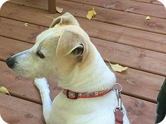 Jack Russell Terrier Mix Dog for adoption in Peterborough, Ontario - OSCAR