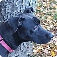 Adopt A Pet :: Nixy - Springfield, VT