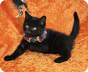 Domestic Mediumhair Kitten for adoption in Jackson, Michigan - Gary