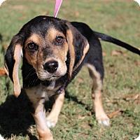 Adopt A Pet :: Captain Hook - Conway, AR