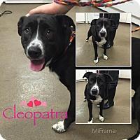 Adopt A Pet :: Cleopatra - Steger, IL