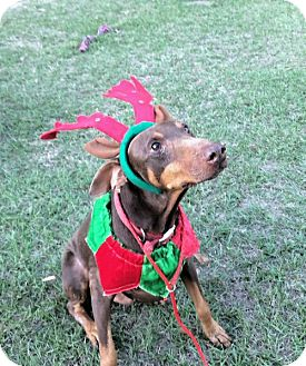 Doberman Pinscher Dog for adoption in Houston, Texas - Bart